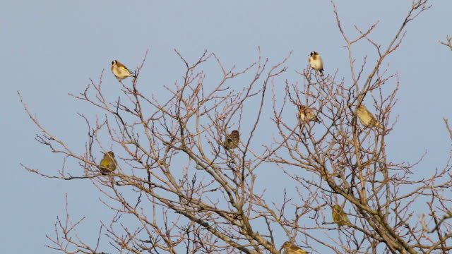 Many Goldfinch video