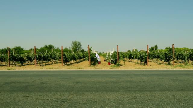 Viele Erntehelfer schneiden Trauben in Weinbergreihen. Weinbauindustrie . Ernte rote Trauben im Herbst . Weinlese Weinberg . Landwirte auswahl Trauben von einem Baum während der Ernte . – Video