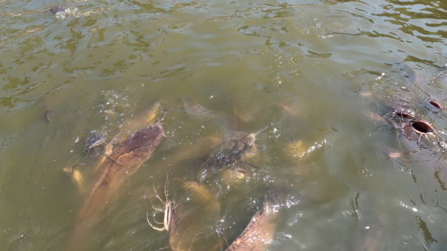 many hungry catfish swim in the lake - siluriformes video stock e b–roll