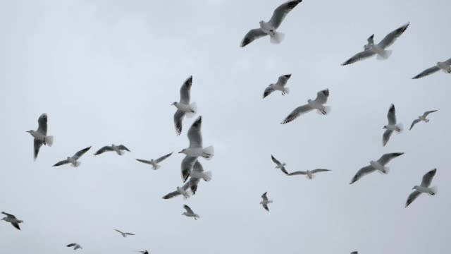 Many hungry Seagulls Flying in the Air and Catch Food pieces of bread on White Sky Background. Slow Motion. Winter time Many hungry Seagulls Flying in the Air and Catch Food pieces of bread on Winter White Sky Background. Slow Motion. Winter time. arthropod stock videos & royalty-free footage