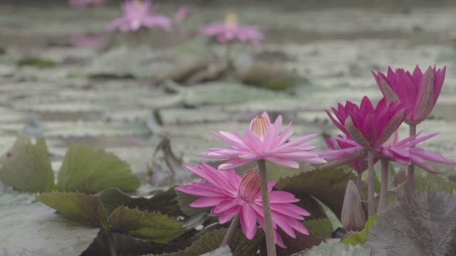 Many lotus flowers blooming in the river in the morning
