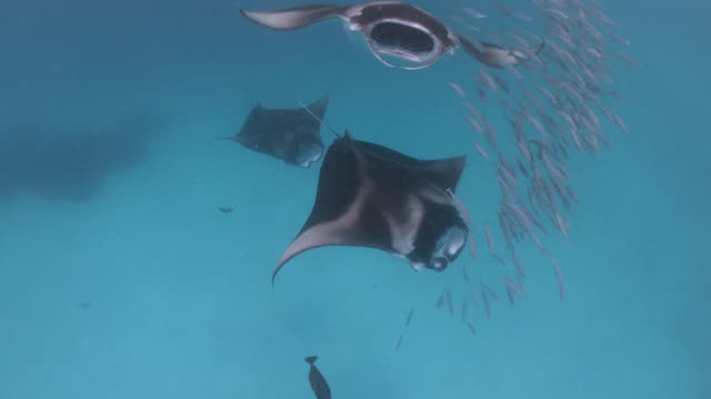 Many manta rays swimming together in the ocean