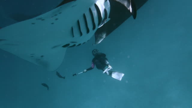 Many manta rays swimming together in the ocean video