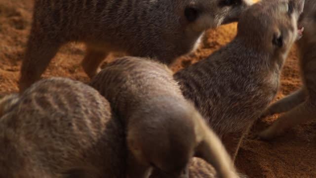 många meerkat spelar mellan dem att bita och galna - vakta bildbanksvideor och videomaterial från bakom kulisserna