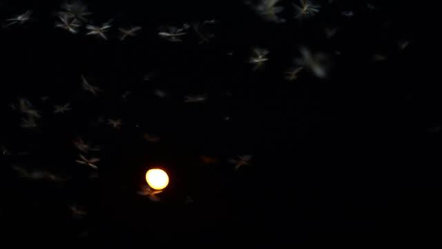 many of Mayfly flying around light bulb. Lemma in the dark night video