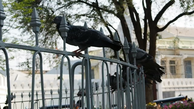 Many pigeons in the park video