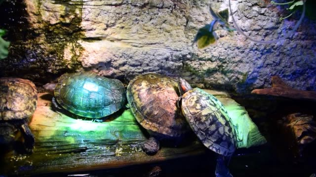 Many red-eared sliders in a zoo