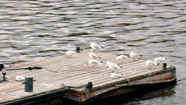 Many river seagulls sitting on the dock by a river video