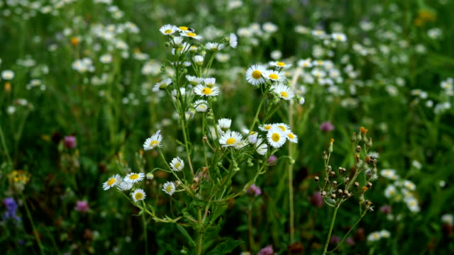 many small daisy wildflowers grow in meadow and sway in wind. - soft focus video stock e b–roll