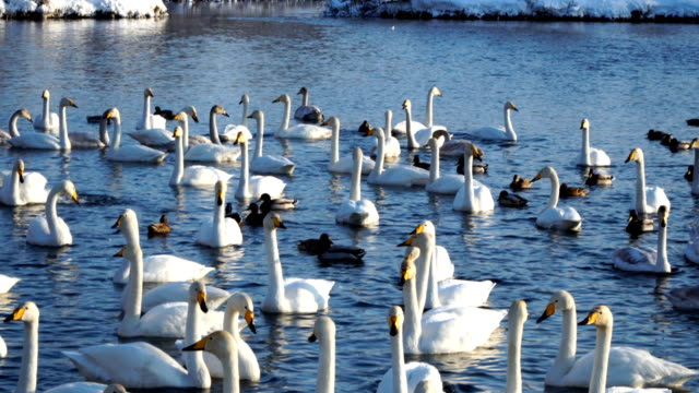 Many wild swans and ducks on the lake. Winter time, sunny weather 4k
