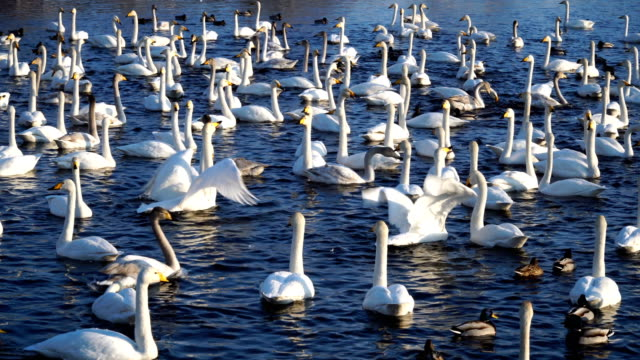 Many wild swans and ducks on the lake. Winter time, sunny weather, freshwater 4k