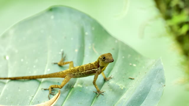 Many-scaled anole or Golfo-Dulce anole: Costa Rica