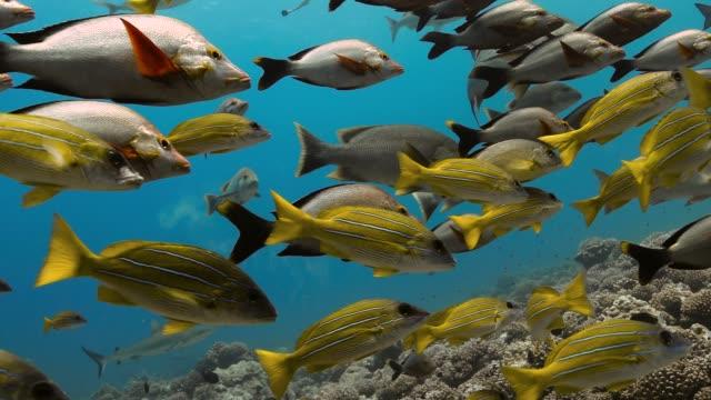 マオリ・スナッパーとブルーリード・スナッパーの魚は、太平洋のサンゴ礁の近くで泳ぎます。熱帯魚の群が水中を移動する水中生活。澄んだ水の中でダイビング。 - 魚点の映像素材/bロール
