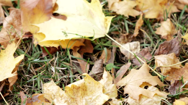vídeos de stock, filmes e b-roll de folhas do outono do bordo que encontram-se - setembro amarelo