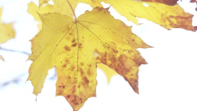 vídeos de stock, filmes e b-roll de folhas do outono do bordo - setembro amarelo