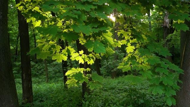 maple branch backlight horizontal movement video
