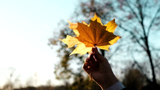 Maple leaf in hand against sky background video