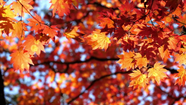 Maple leaf in red color Autumn time in Japan , Nature footage Slow motion