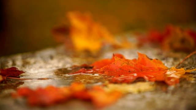Maple leaves in Edwards Gardens on a rainy day, Toronto - video