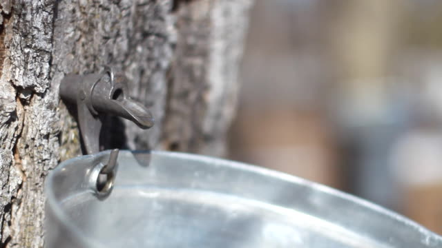 Maple Sap Running video