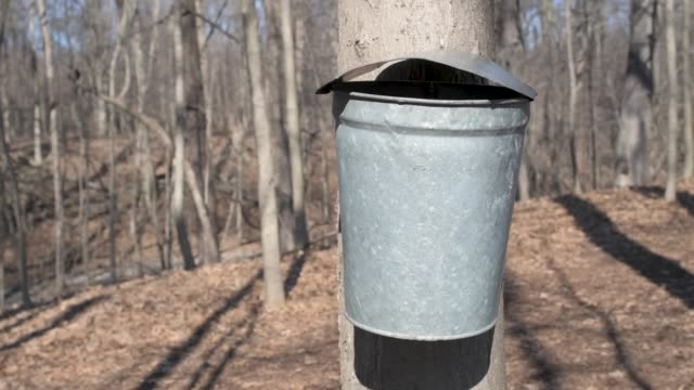 Maple Tree Galvanized Tap Bucket video