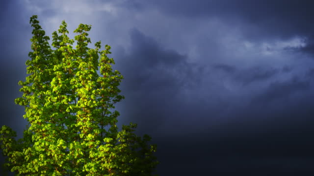 Maple Tree In Front Of Dark Clouds video