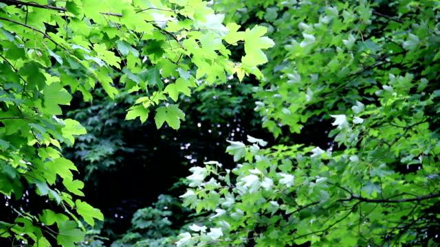 ahorn bäume - ahorn stock-videos und b-roll-filmmaterial
