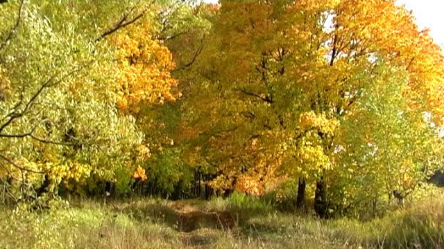 Maples avenue in autumn deciduous forest video