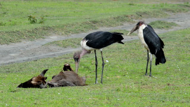 Marabou Stork Eating Dead Wildebeest A Marabou Stork, Leptoptilos crumeniferus, eating a dead wildebeest in Tanzania, Africa, near Lake Ndutu.  The wildebeest was most likely killed by a lion or a cheetah, both present in the area, and when they were done with the carcass, the scavengers moved in. scavenging stock videos & royalty-free footage