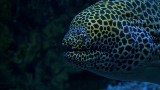 marble moray eel video
