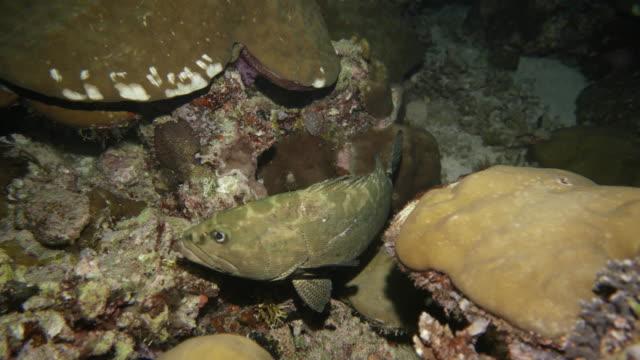 vídeos y material grabado en eventos de stock de pescado mero marmoleado en el arrecife de coral de la noche - zona pelágica