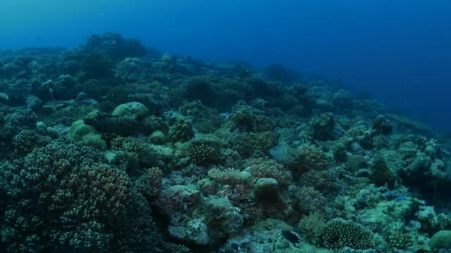 vídeos y material grabado en eventos de stock de pescado mero marmoleado, arrecife de coral - sea life park