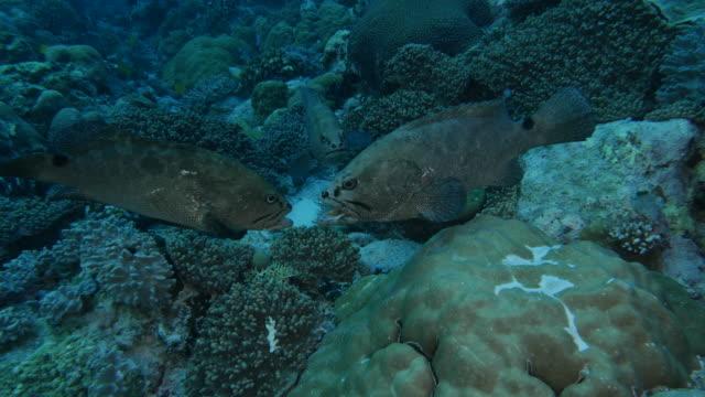 vídeos y material grabado en eventos de stock de mero de mármol peces comportamiento de luchando, animal - lucha