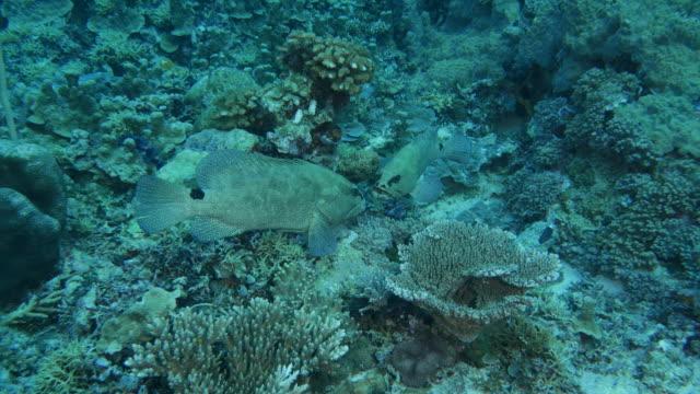 vídeos y material grabado en eventos de stock de pescado mero marmoleado luchando para aparearse - sea life park