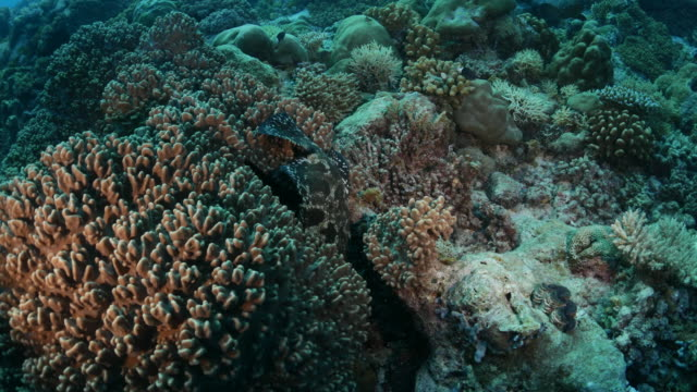 コーラル コーブに隠れて霜降りハタ魚 - サムイ島点の映像素材/bロール