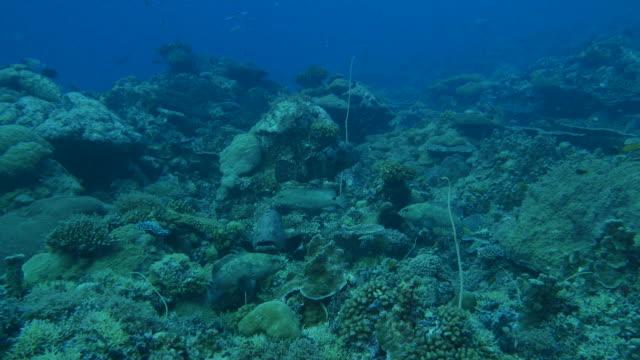 vídeos y material grabado en eventos de stock de pescado mero marmoleado escondidos en el arrecife, color del camuflaje - sea life park