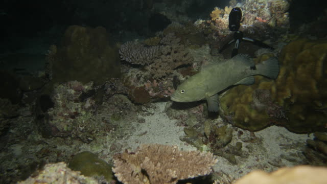 vídeos y material grabado en eventos de stock de pescado mero marmoleado en mar oscuro en la noche - zona pelágica