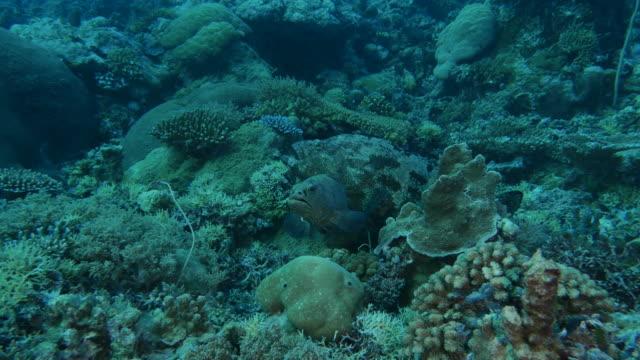 vídeos y material grabado en eventos de stock de pescado mero marmoleado en arrecife de coral de la noche - sea life park