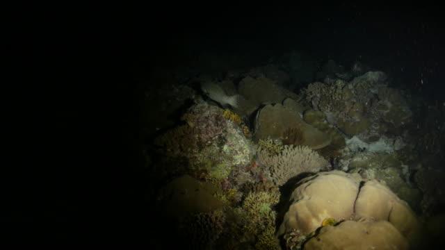 vídeos y material grabado en eventos de stock de pescado mero marmoleado, arrecife submarino buceo, oscuro de noche - zona pelágica