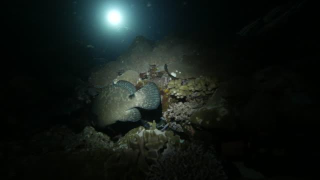 vídeos y material grabado en eventos de stock de pescado mero marmoleado submarinos en la noche oscura - zona pelágica