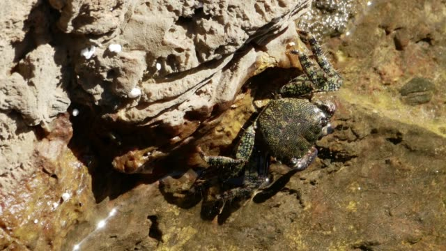 vídeos de stock e filmes b-roll de marbled rock crab feeding on the water line - lapa