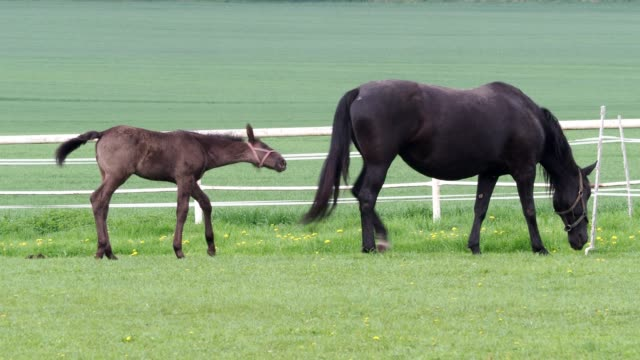 mare with foal on pasture. black kladrubian horse. - cavalla video stock e b–roll