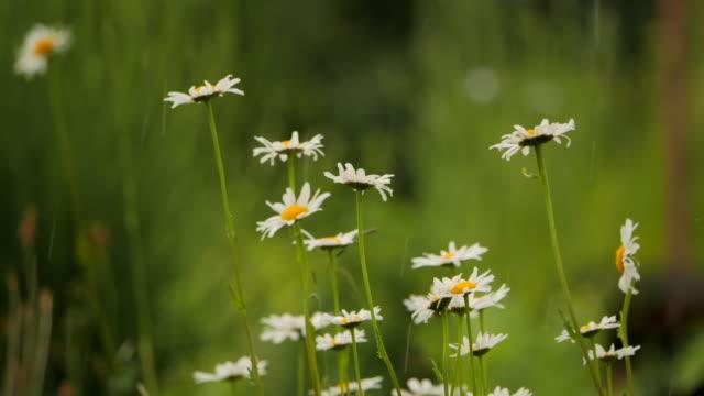 marguerite - daisy in the summer rain in slow motion - нивяник стоковые видео и кадры b-roll