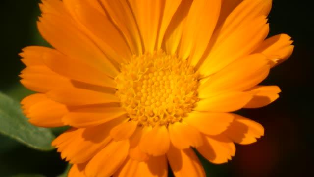marigold (calendula officinalis) disk sway in the wind - pistillo video stock e b–roll