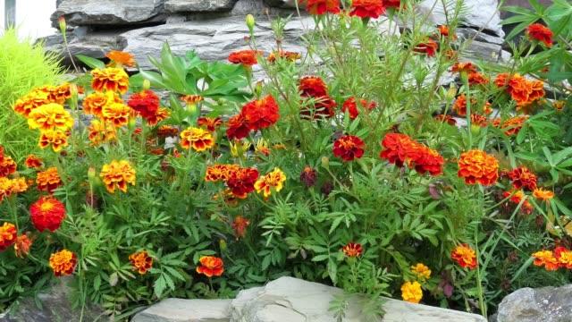 庭のマリーゴールドやタゲッテや植物 - 花壇点の映像素材/bロール