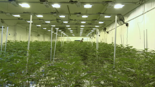 Marijuana Cultivator Tending to Plants in Warehouse Static cannabis cultivation indoor farm background with plants growing under lgihts and fans marijuana herbal cannabis stock videos & royalty-free footage