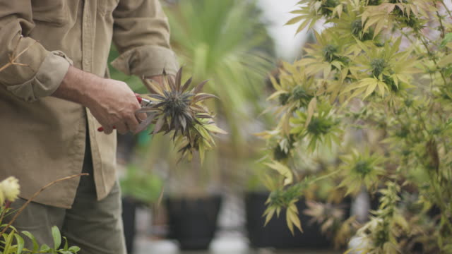 Marijuana farmer tending to his plants video
