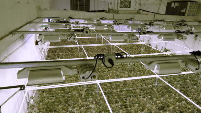 Marijuana Industry Grow Facility Overhead View of Plants from Rafters Cannabis warehouse top view above green plant canopy with big buds ready for harvest thc stock videos & royalty-free footage