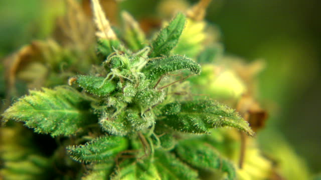 Marijuana Plant Big Cola - Zoom Out video