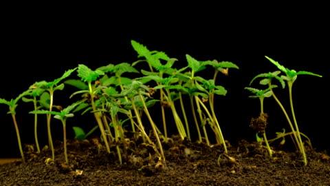 vídeos de stock e filmes b-roll de marijuana plant growing - erva